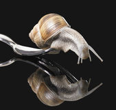 Grapevine snail on fork — Stock Photo