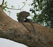 Vervet monkeys sitting on a big bough — Stock Photo