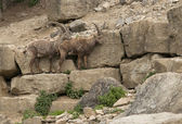 Two Alpine Ibex in stony ambiance — Stock Photo