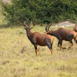 Common Tsessebe in Uganda — Stock Photo #7722724