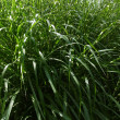 Grass leaves — Stockfoto