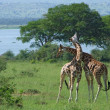 Giraffes at fight in Africa — Stock Photo