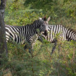 Zebras in Uganda — Stock Photo #7723199