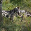 Zebras in Uganda — Stock Photo
