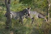 Zebras in Uganda — Stock Photo