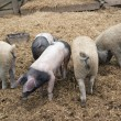 Domestic Pigs — Stock Photo