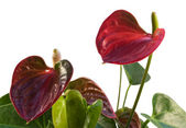 Red Flamingo Flower in white back — Stock Photo
