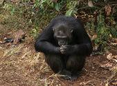Chimpanzee sitting on the ground — Stock Photo