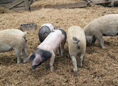 Domestic Pigs — Stock Photo
