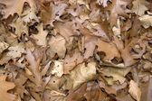Sere brown autumn leaves — Stock Photo