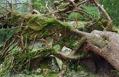 Overgrown tree trunk — Stock Photo