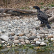 Waterside scenery with Great Cormorant — Stock Photo