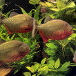 piranhas — Stock Photo