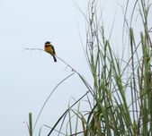 Little Bee-eater in Africa — Stock Photo