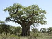 Baobab tree in Tanzania — Stock Photo