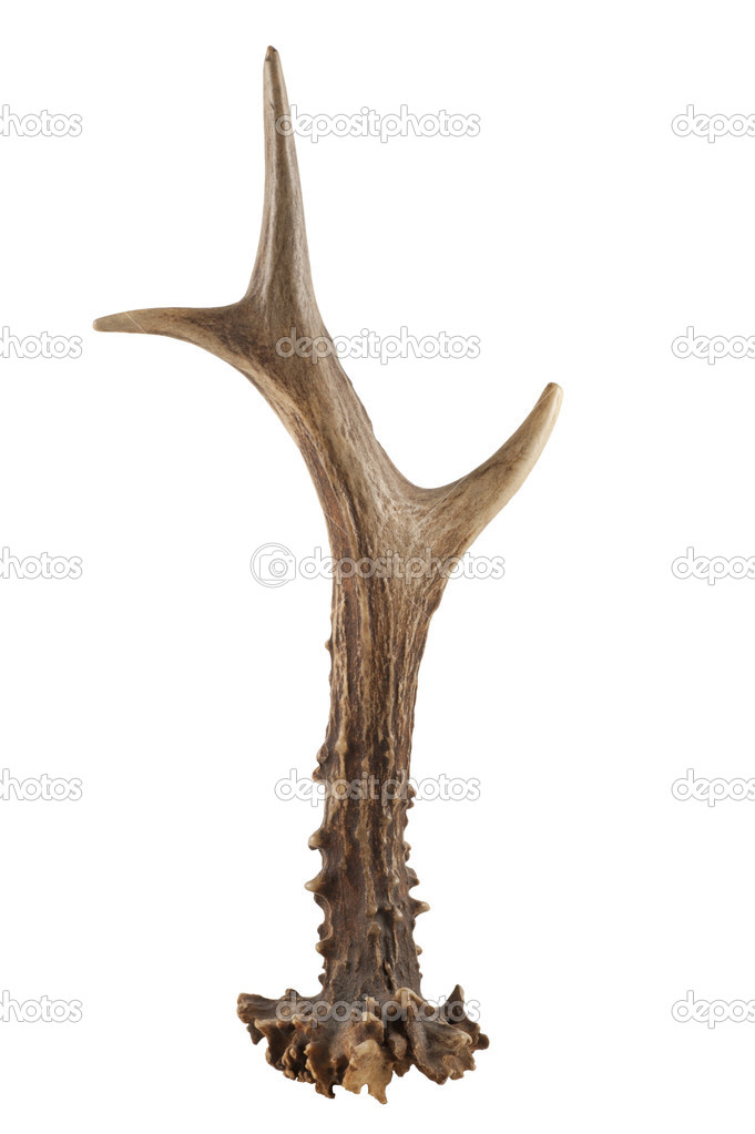 Isolated on the white deer horn — Stock Photo #7128423