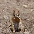 Stock Photo: Prairie dog