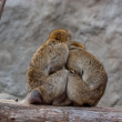 A nice couple of macaques — Foto de Stock