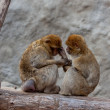 Stock Photo: Nice couple of macaques