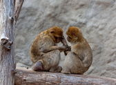 A nice couple of macaques — Stock Photo