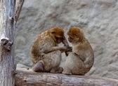 Milý pár makaků — Stock fotografie