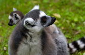 Lemur family — Stock Photo