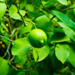 Stock Photo: Green lemon