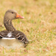 Greylag goose in evening sunlight — Stock Photo
