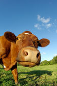 Curious cow on a field — Stock Photo
