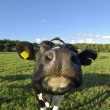 Cow on a field — Stock Photo