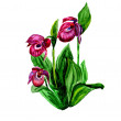 Watercolor Cypripedium calceolus — Stock Photo #7872370