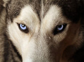 Husky Blue Eyes — Stockfoto