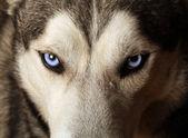 Husky blauwe ogen — Stockfoto