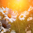 Spring daisies at dawn — Stock Photo
