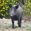 The Boar  cinghiale - Stock Photo