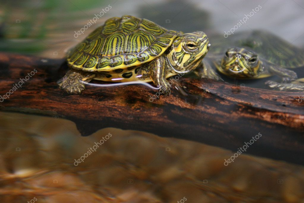 TARTARUGA , turtle,   Stock Photo #7123703