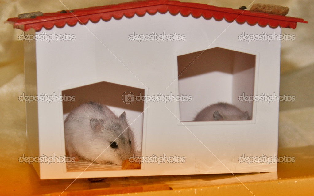 Hamsters, intense, small mammals, rats, mice, nice, animals — Stock Photo #7123795