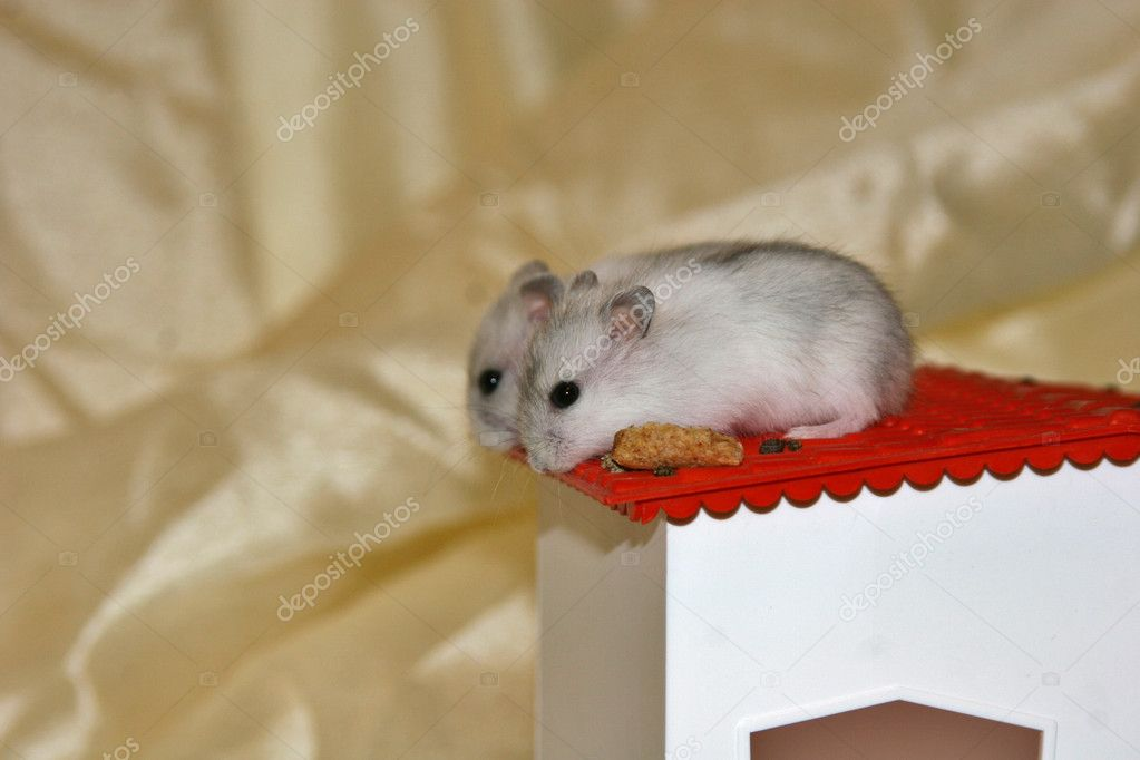 Hamsters, intense, small mammals, rats, mice, nice, animals — Stock Photo #7124100