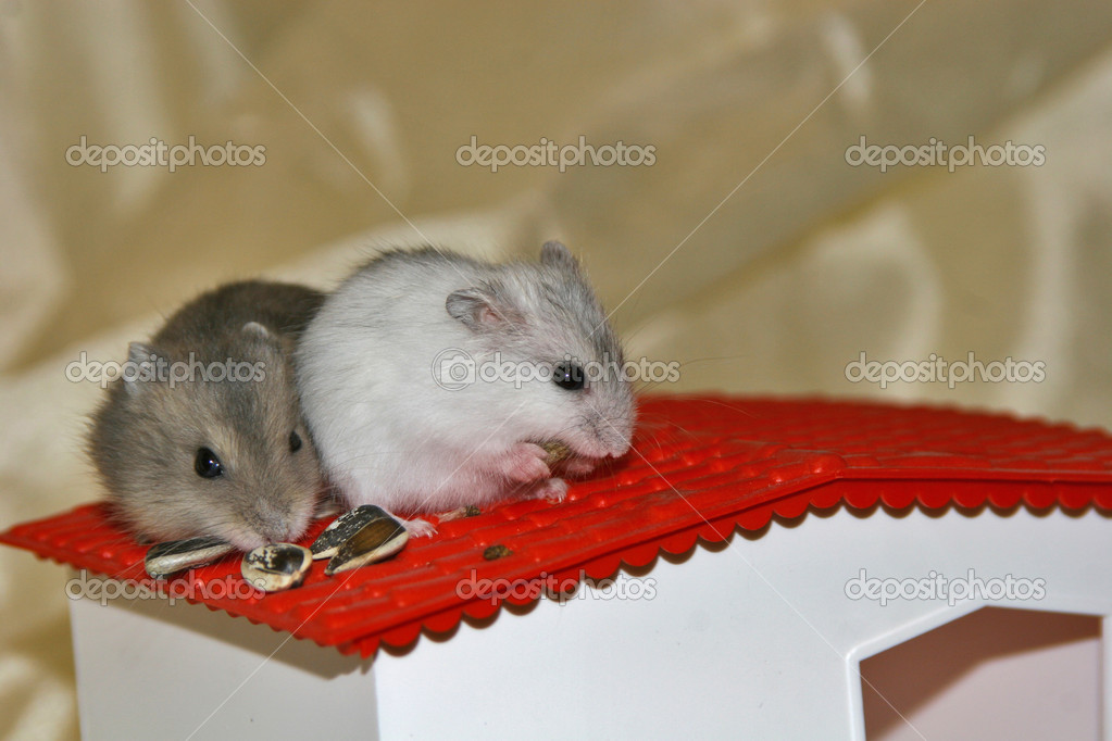Hamsters, intense, small mammals, rats, mice, nice, animals — Foto Stock #7124187