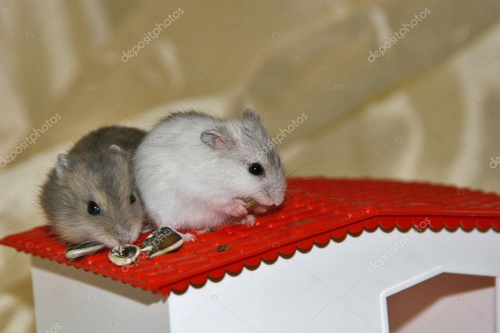 Hamsters, intense, small mammals, rats, mice, nice, animals — Stockfoto #7124187
