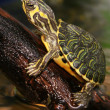 Turtle — Stock Photo #7157847