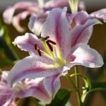 Lilium, close up, flower, — Stock Photo