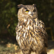 Stock Photo: Bird, owl, barbaggianni, woods,