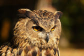 Bird, owl, barbaggianni, woods, — Foto Stock