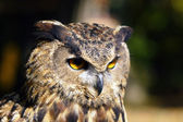 Bird, owl, barbaggianni, woods, — Stock Photo