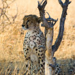 Stock Photo: Cheetah On Alert