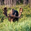 Bull moose image — Stock Photo