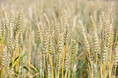 Natural gold wheat field — Stock Photo