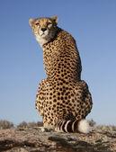 Zurückblickender Gepard, Cheetah — Foto de Stock