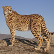 Majestätischer Gepard, Cheetah - Stock Photo